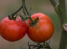 trapianto pomodoro
